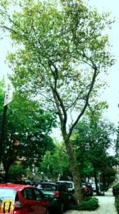 Tree on my block